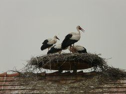 storks in the nest on the roof