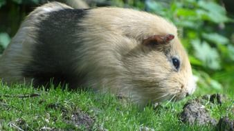 guinea pig is sniffing a stone