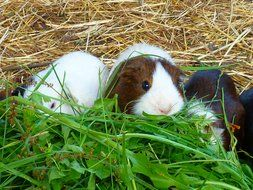 guinea pigs on hay