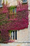 red boston ivy climbing by stone wall