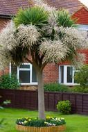 fluffy palm tree in front of the country house