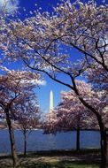 japanese cherry trees washington