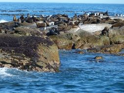 seals in south africa cape town