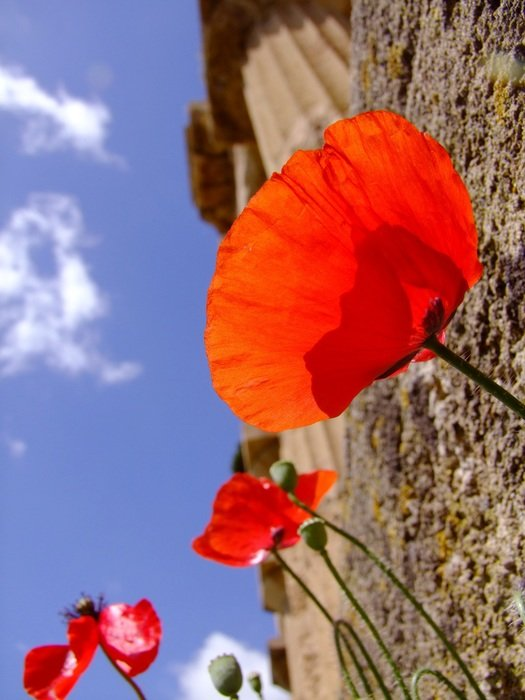 poppy flower and temple