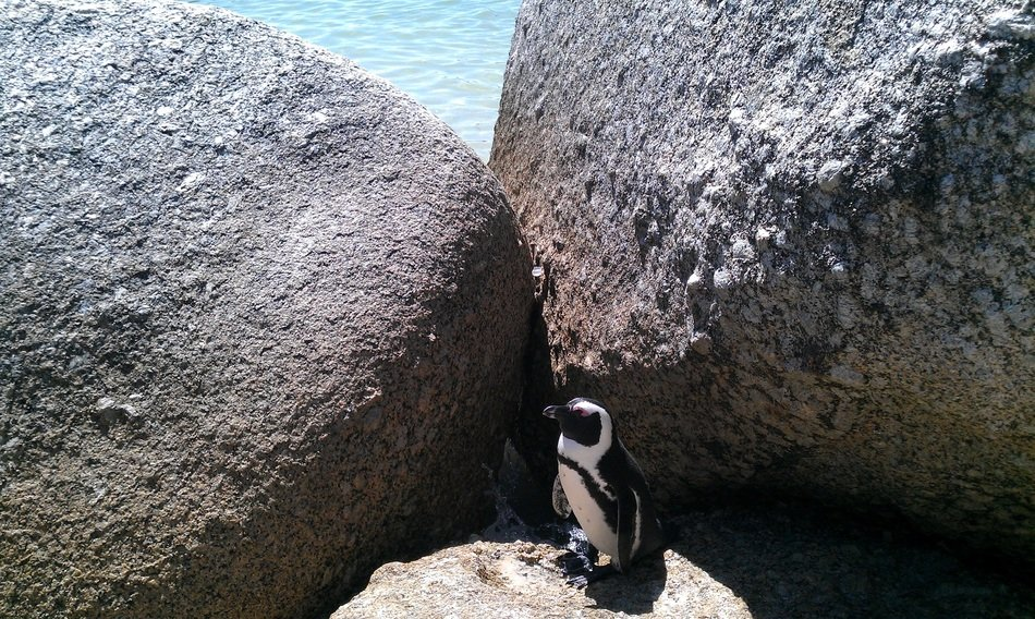 penguin among stones at sea, south africa, cape town, bolders beach