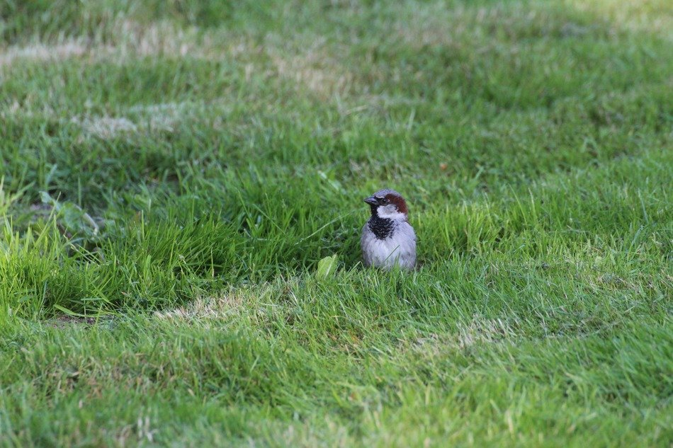 sparrow on a grass
