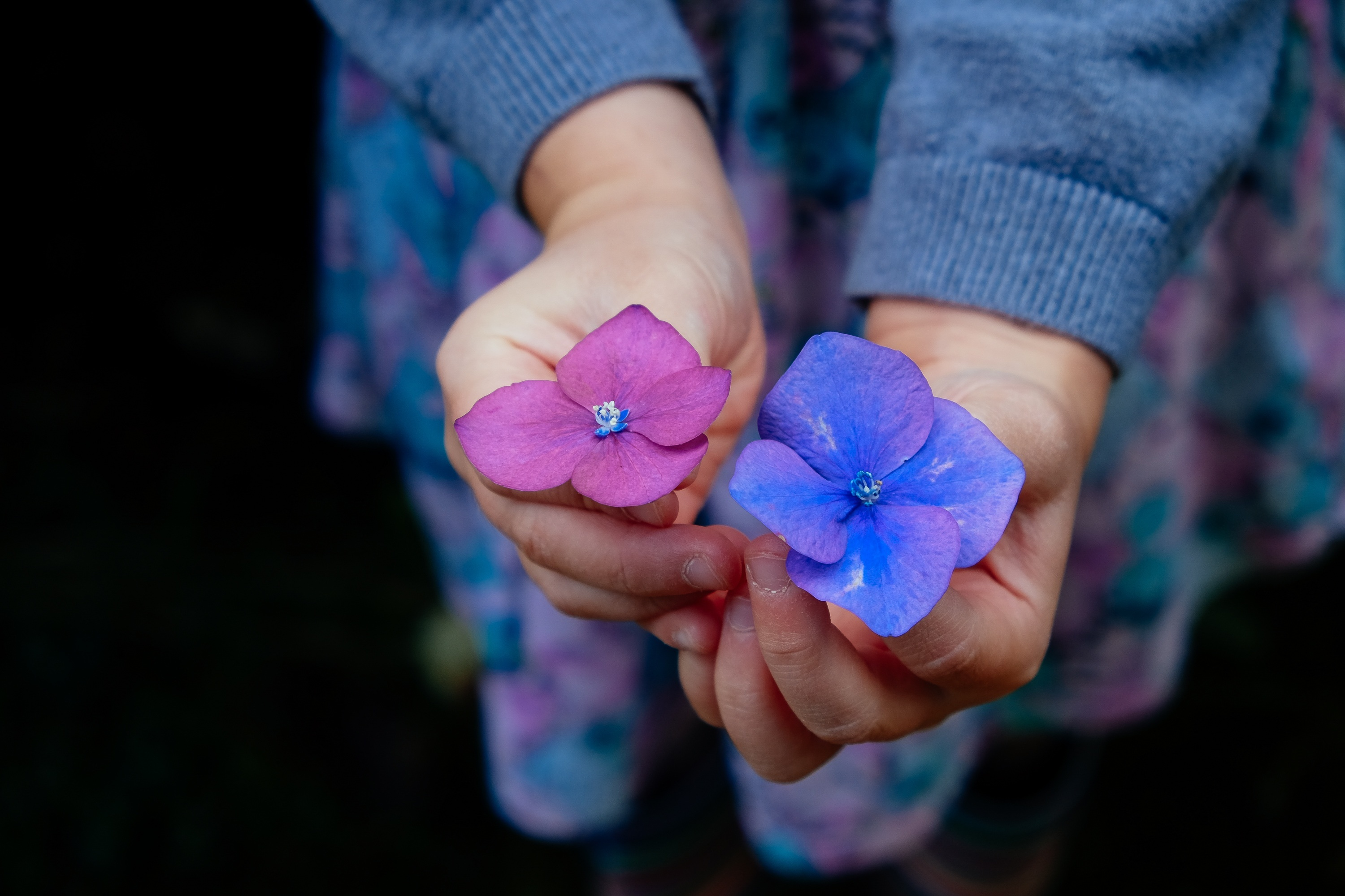 Purple And Blue Flowers In Female Hands Free Image