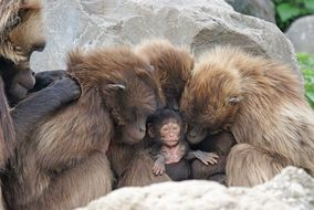group of large gorrilas hugging a new born monkey