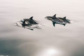 dolphins jumping glassy water