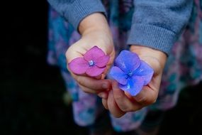 purple and blue flowers in female hands