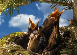 chicks with open beaks in the nest
