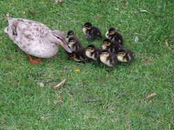 Wild ducklings and duck