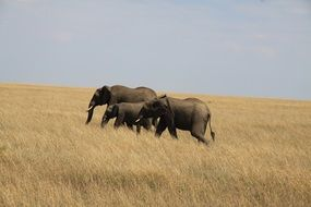 elephant family walks on dry grass