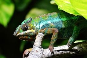 Closeup photo of the multicoloured chameleon