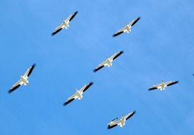 pelicans fly in the clear sky