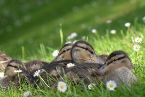 ducklings lie in the green grass