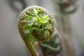 the shoots of young fern close up