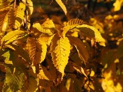 yellow beech leaves at sunny autumn day