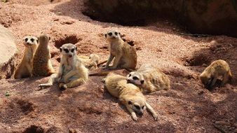 group of meerkats rest on ground
