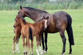Domestic young horses on a pasture