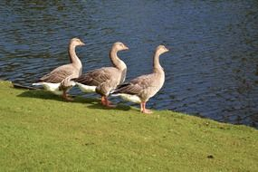 three geese by the pond