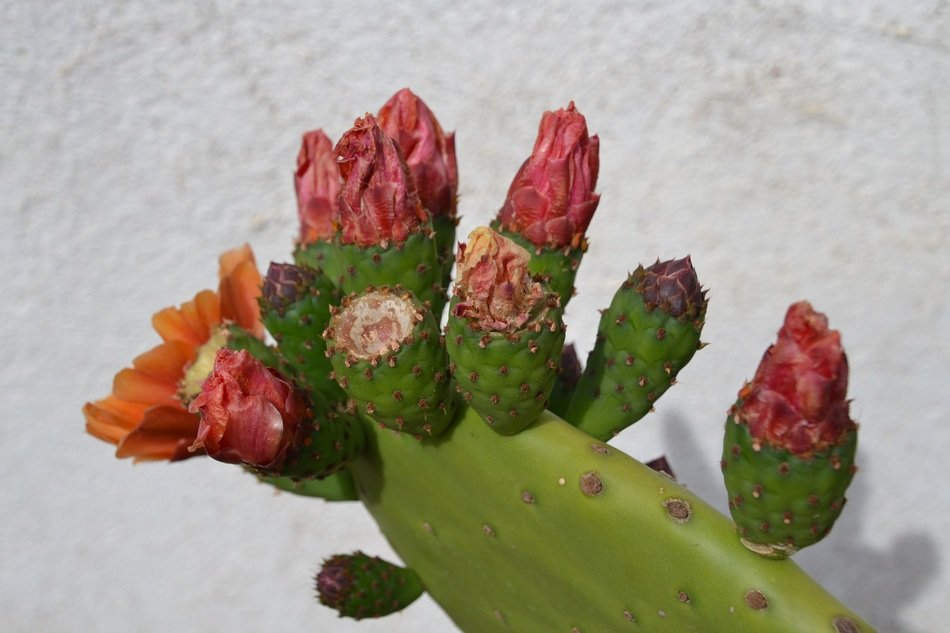 Cactus branch in bloom