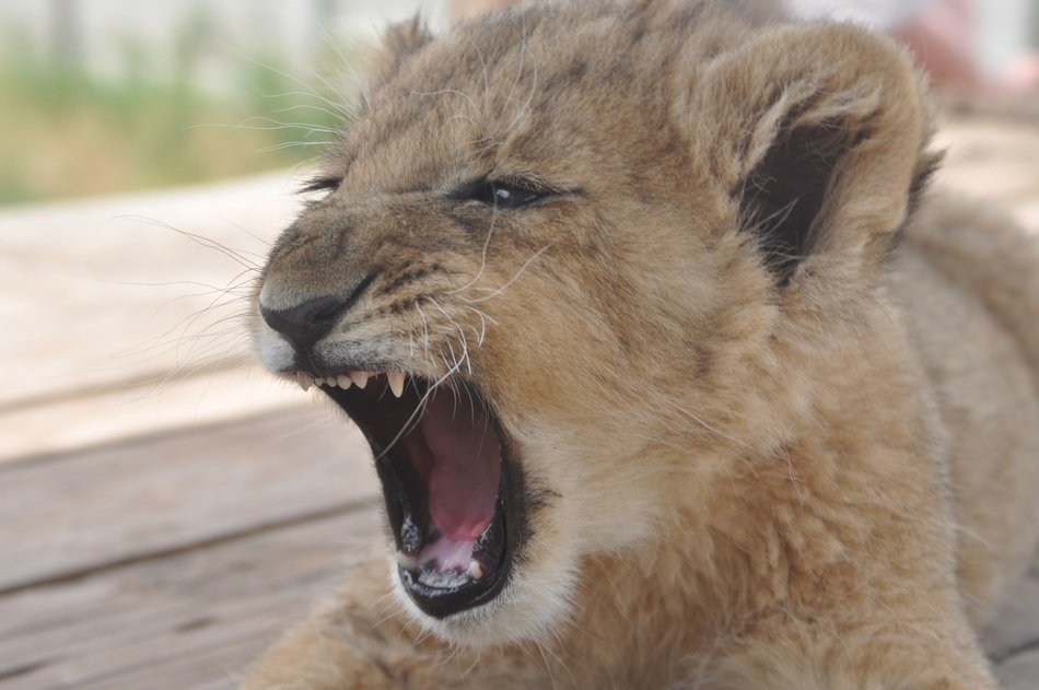 Furious snout of a lion cub