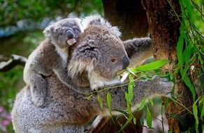 fluffy koala animal mammals australian