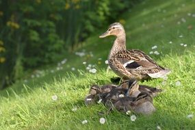 a photo of ducks family
