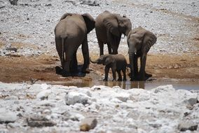 african elephant family play, with baby elephant
