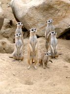 meerkats at rocks in zoo