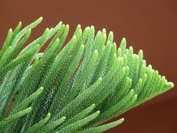 Araucaria is an evergreen coniferous plant