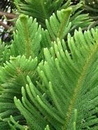 Branches of araucaria