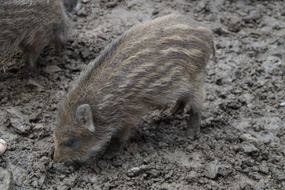 striped pig in mud