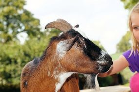 goat in petting zoo