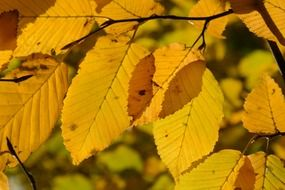 yellow leaves of white beech