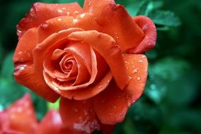 red rose with droplet water