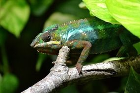 chameleon lizard multi coloured animal
