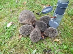 a family of hedgehogs is eating food