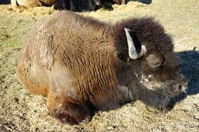 wisent young european bison resting on land