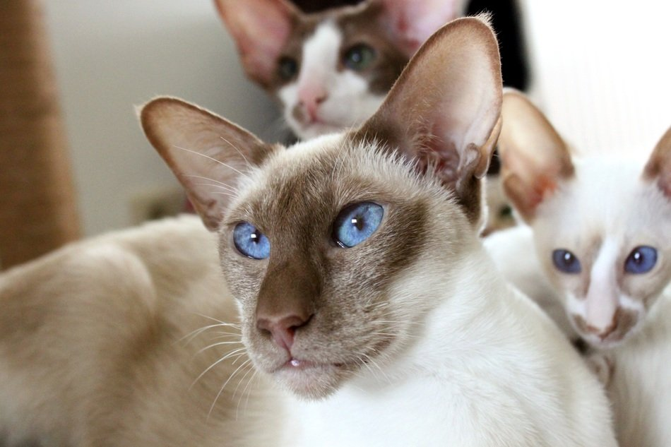 Siamese cats with blue eyes