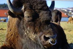 bison with a ring in a nose close up