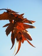 brown hornbeam leaves on a sunny day