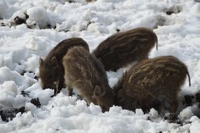 little wild boars in winter