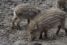 little wild boars in the mud