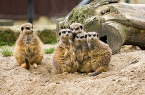 group of meerkats in zoo