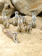 meerkat big family in the zoo