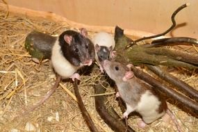 rats family branches