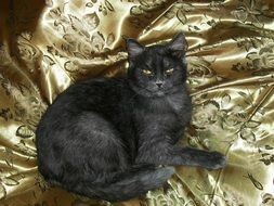 grey cat on a Golden blanket