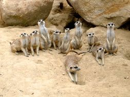 meerkat family in the zoo